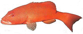 coral trout, trout recipes, reef fish recipes, cooking coral trout