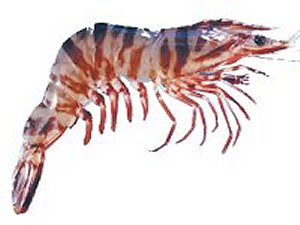 http://www.howtocookfish.info/recipes/crustaceans/prawns/tiger-prawn-pic.jpg