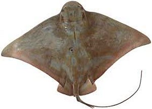 How to cook fish recipes using skate stingray for Skate fish facts