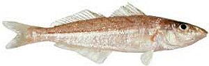 How to cook fish recipes for whiting fish for How to bake whiting fish